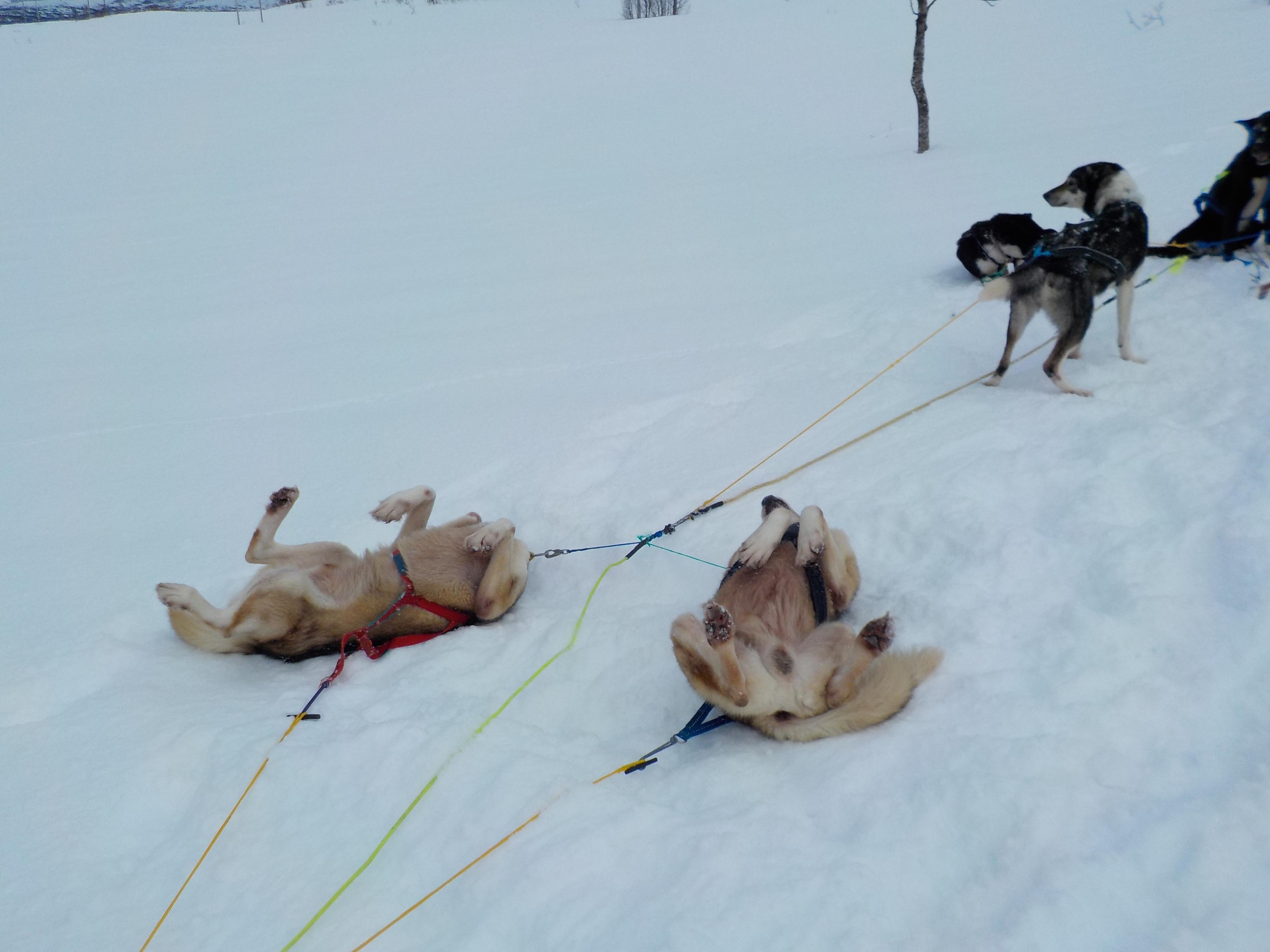 dog sledding cimminnee holt